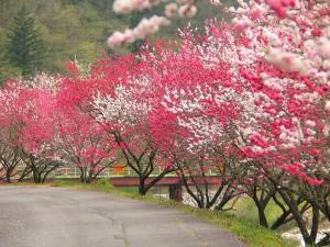 600花桃の木NO1